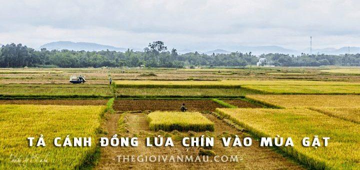 ta canh dong lua chin vao mua gat 720x340 - Tả cánh đồng lúa chín vào mùa gặt - Văn mẫu lớp 5