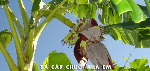 ta cay chuoi nha em 520x245 - Tả cây chuối nhà em - Văn mẫu lớp 4