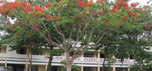 ta cay phuong trong san truong 520x245 - Tả cây phượng trong sân trường - Văn mẫu lớp 5