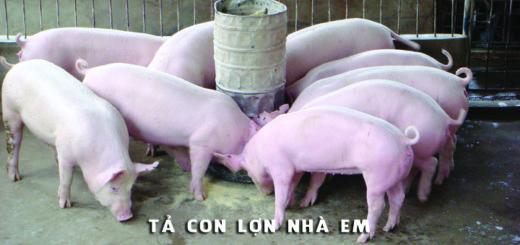 ta con lon nha em 520x245 - Tả con lợn nhà em - Văn mẫu lớp 4