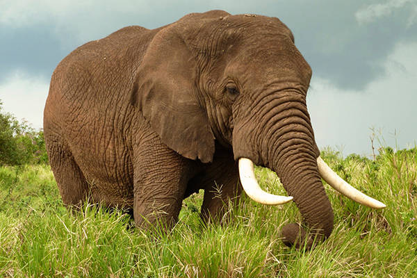 Tả con voi mà em quan sát được